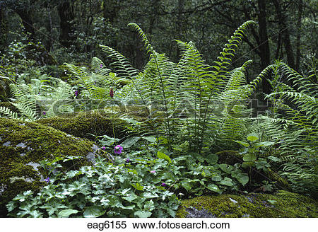 Stock Image of FERNS and WILDFLOWERS carpet the forest floor.