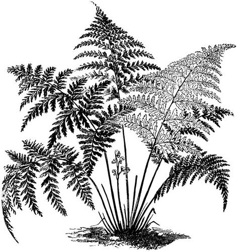Fern clipart black and white » Clipart Station.