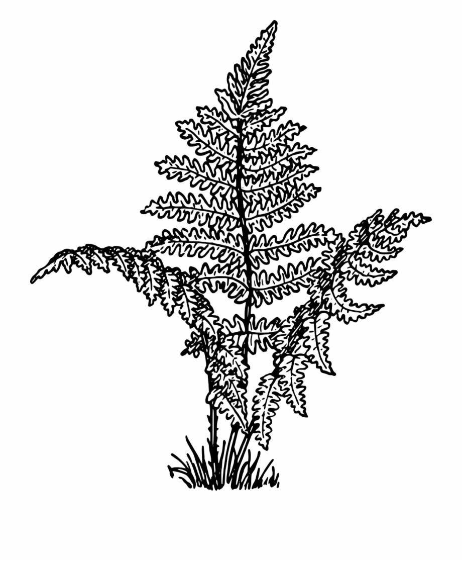 Ferns Vascular Plants Leaves Png Image.