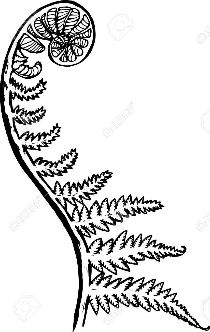 Black and white picture of a fractal leaf. Spiral fern.