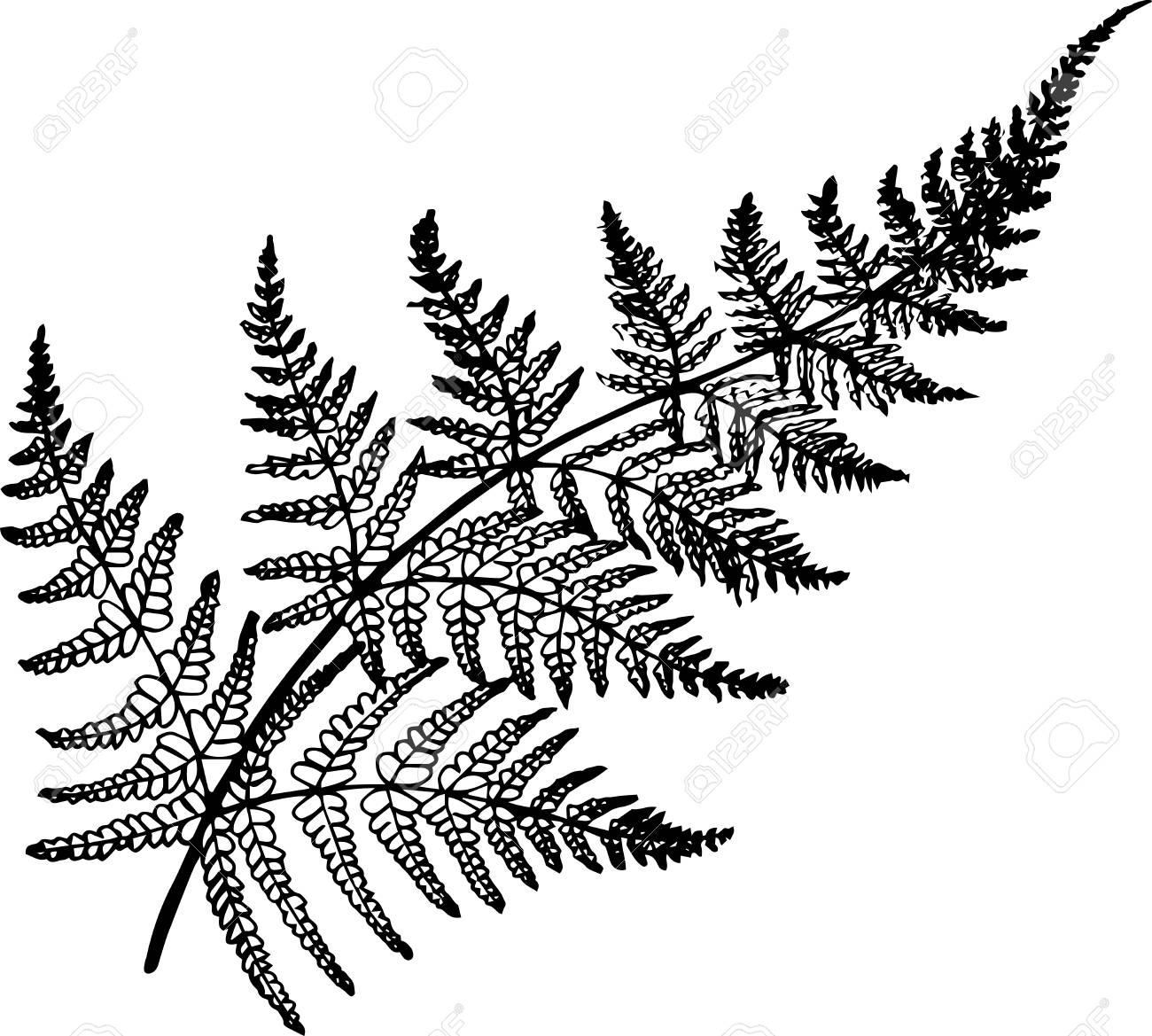 Black and white fern illustration. Ancient plant. » Clipart Station.