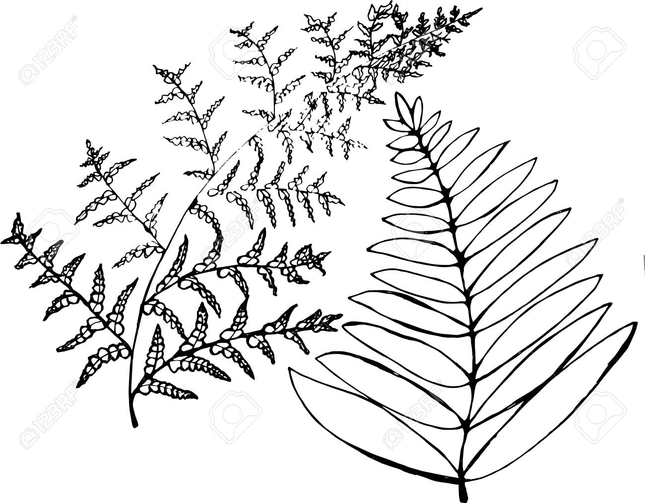 Black and white fern illustration.