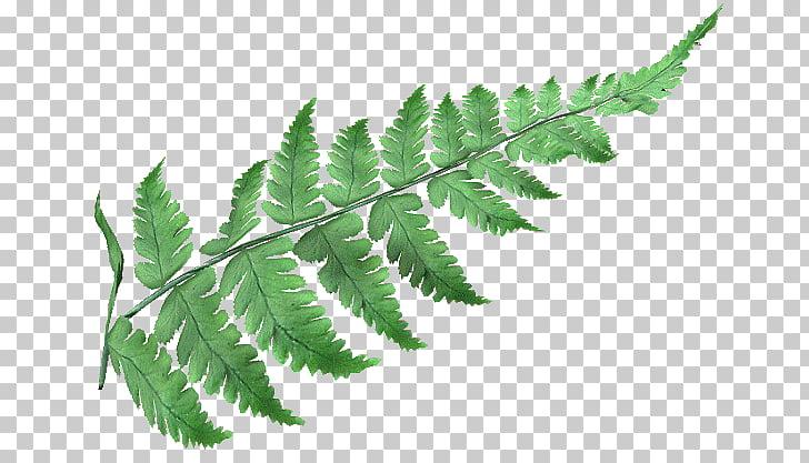 Ostrich Fern Male fern Leptosporangiate ferns , Leaf PNG.