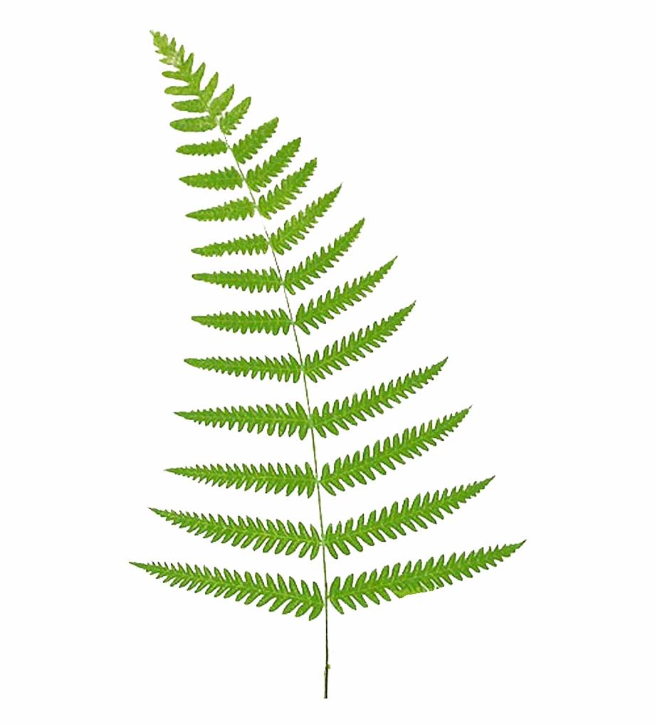 Fern Vector Leaf Fern Clipart Free.