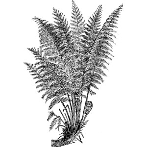 Fern drawing clipart.