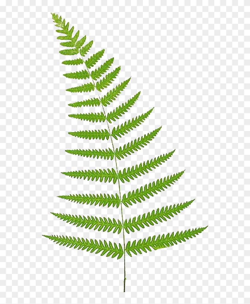 Fern Vector Leaf, HD Png Download.