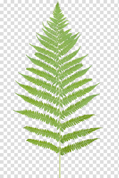 OO WATCHERS, green fern leaf transparent background PNG clipart.