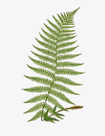 Hand Painted Fern, Clipart, Plant, Leaf PNG Transparent Image and.