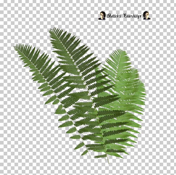 Tree Fern Leaf PNG, Clipart, Drawing, Fern, Ferns And Horsetails.