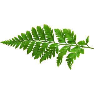 Fern leaf png #26209.