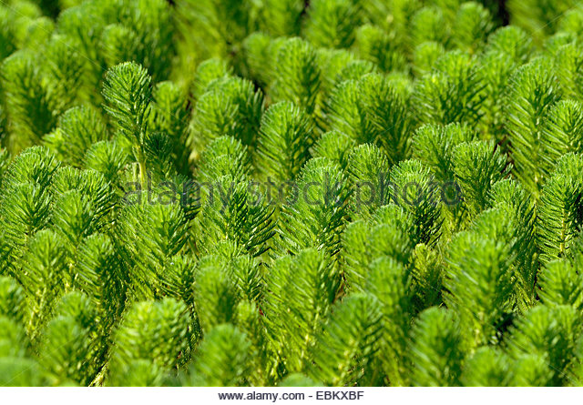 Myriophyllum Stock Photos & Myriophyllum Stock Images.
