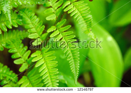 Fern Leaf Fern Leaves Foliage Forest Stock Photo 450743539.