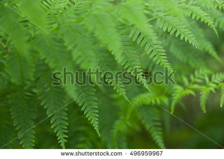Fern Leaf Fern Leaves Foliage Forest Stock Photo 450743512.