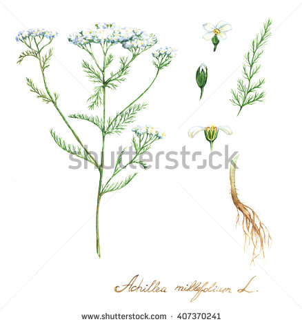Milfoil Stock Photos, Royalty.