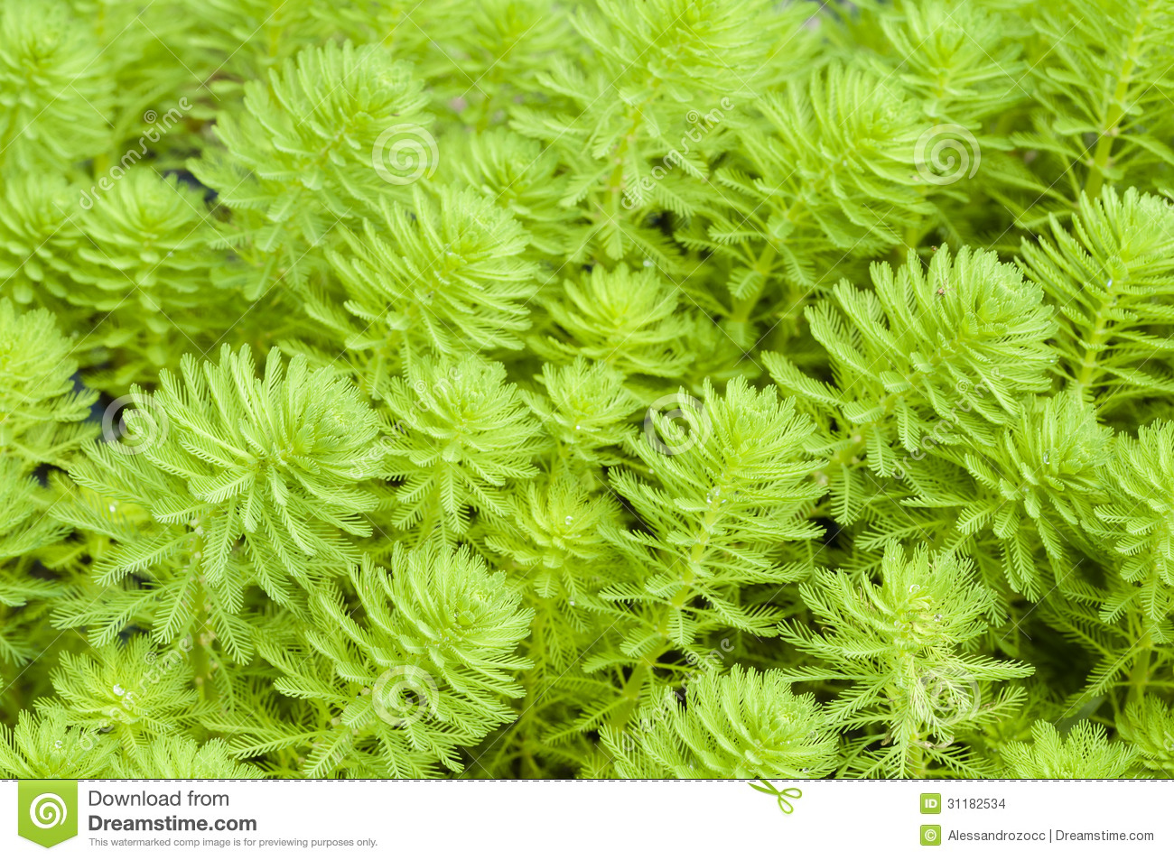 Myriophyllum Watermilfoil Stock Images.