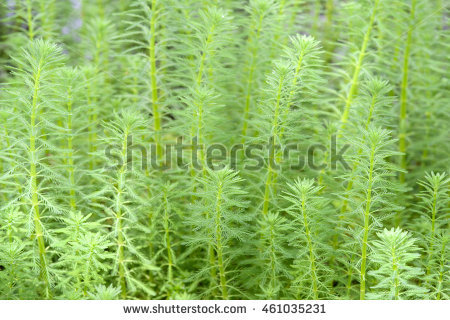 Water Milfoil Stock Photos, Royalty.