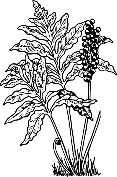 Free fern illustration free vector download (26 Free vector) for.