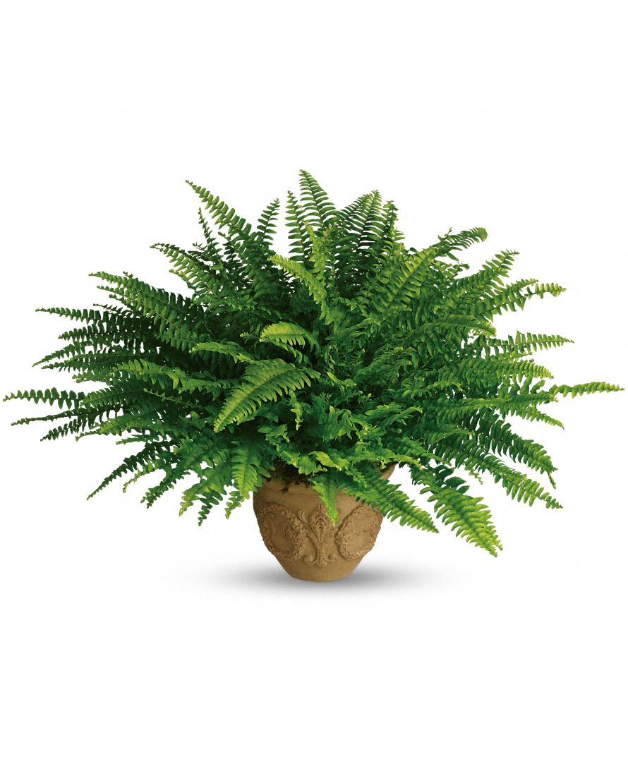 1000+ images about BOSTON FERN on Pinterest.