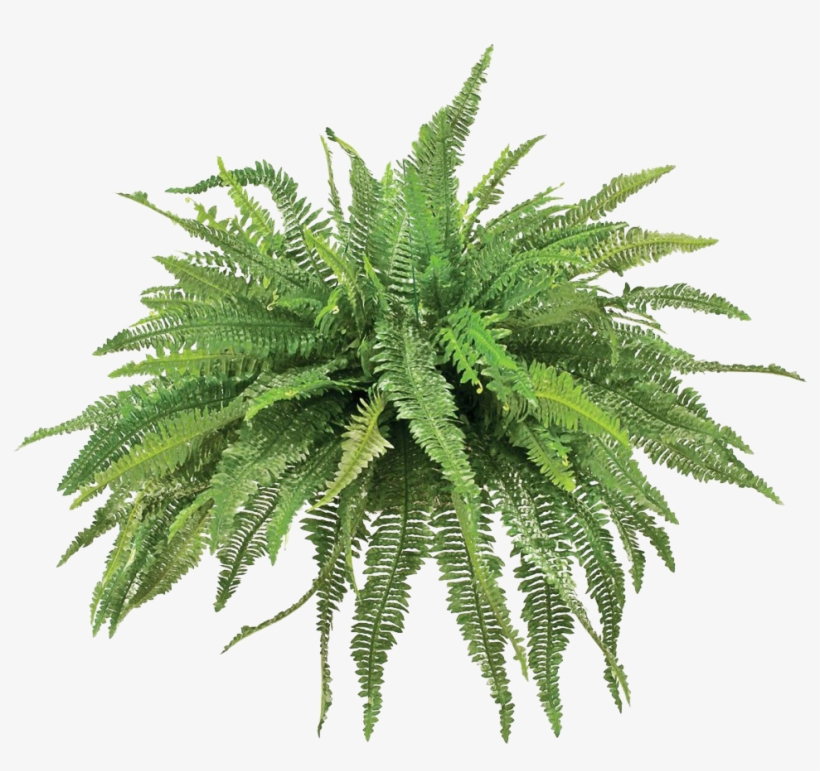 Transparent Fern Animated Picture Freeuse Stock.