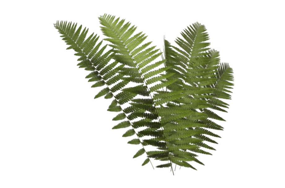Fern Frond Png.