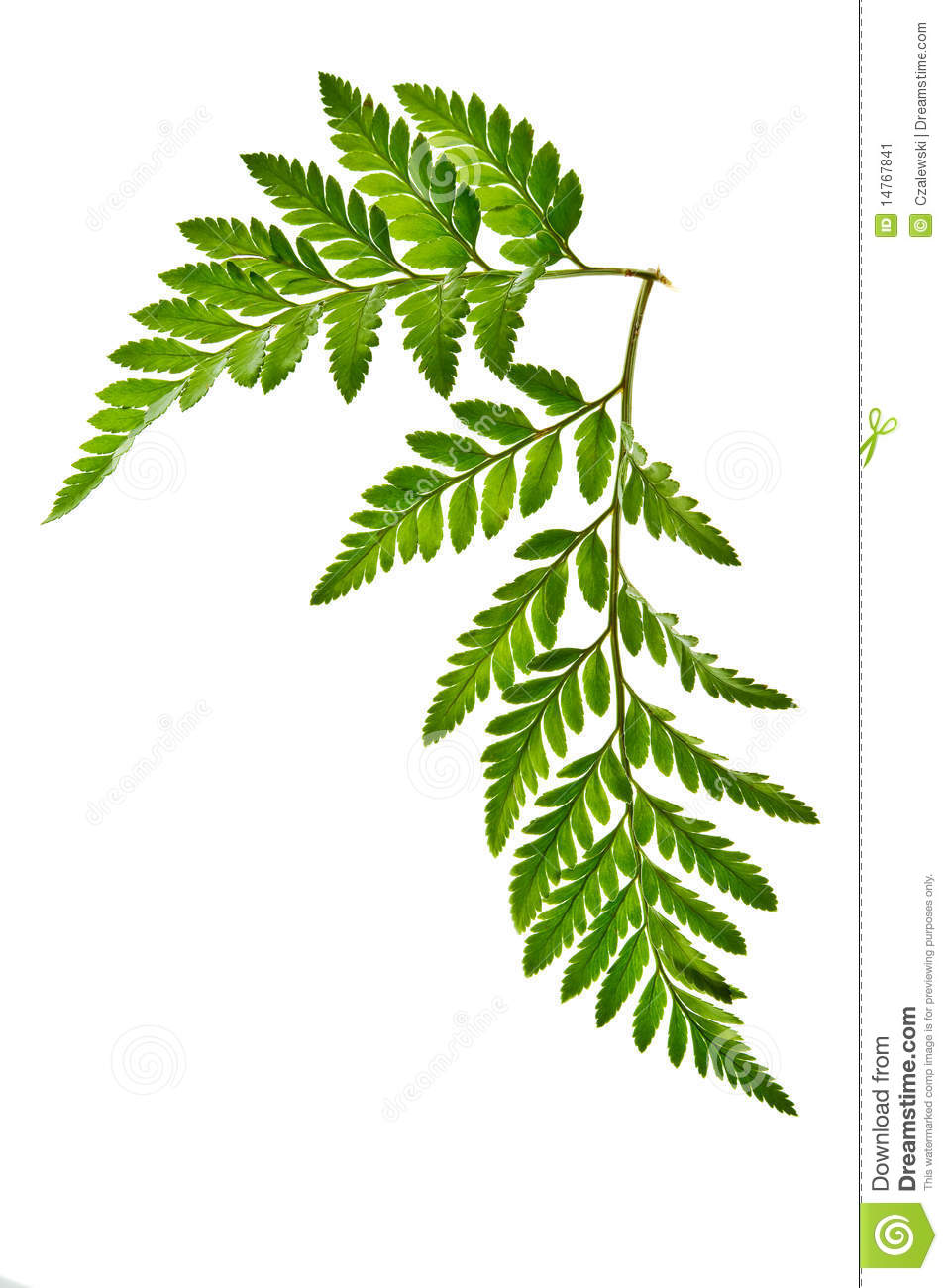 Green Fern Leaf Isolated Stock Image.