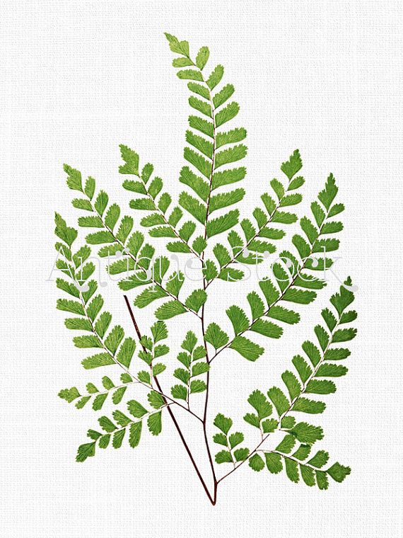 Instant Download Clipart 'Maidenhair Fern' Leaves by AntiqueStock.