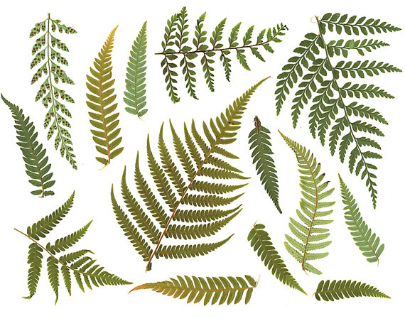 Clipart FERN LEAF Digital Resource. Digital by VeronicasImprint.