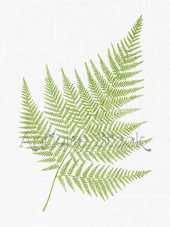 Fern Leaf Clipart 'False Shield.