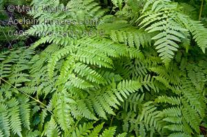 Free clipart ferns.