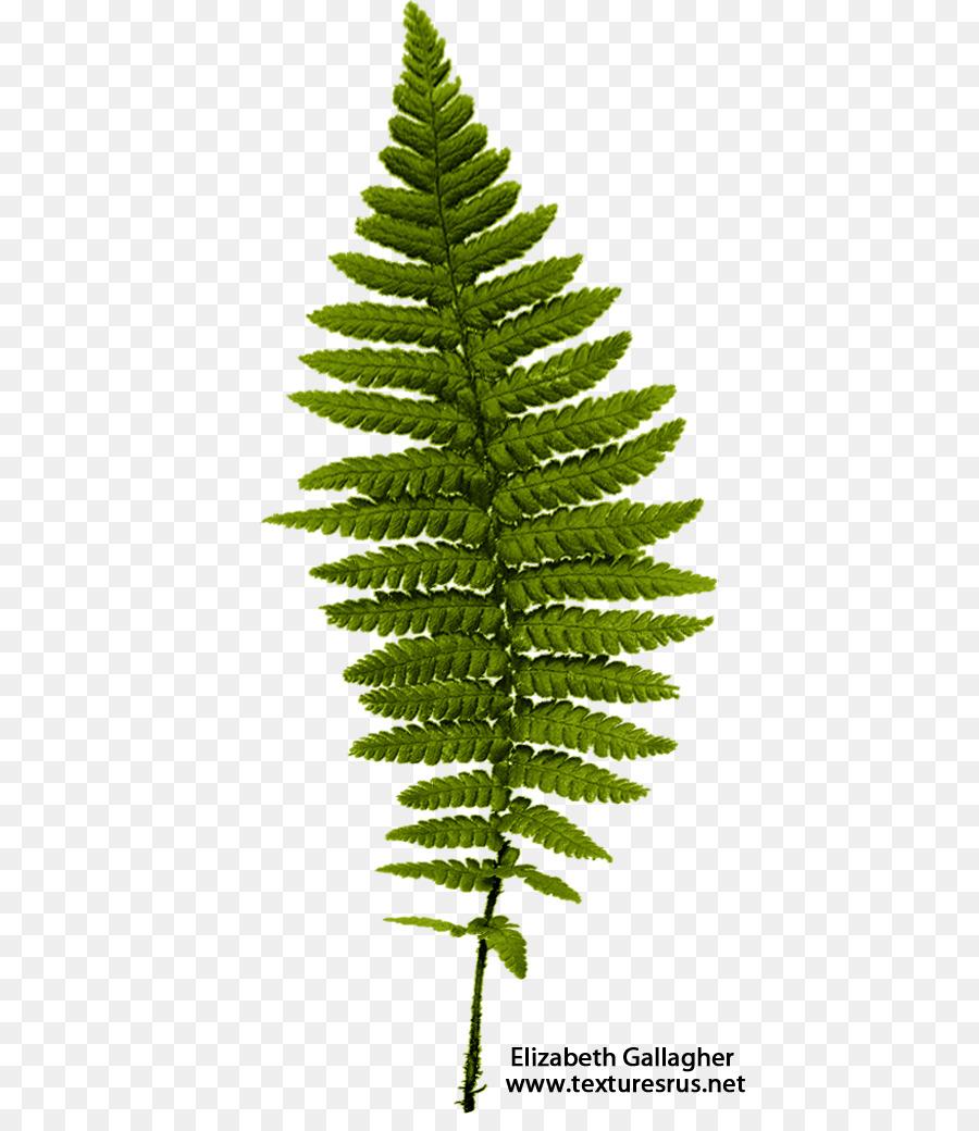 Fern Leaf Frond.