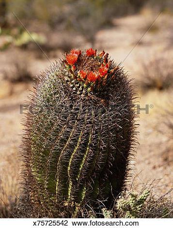 Stock Photo of Barrel cactus (Ferocactus wislizennii), close.