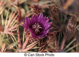 Stock Photos of Blooming Ferocactus.