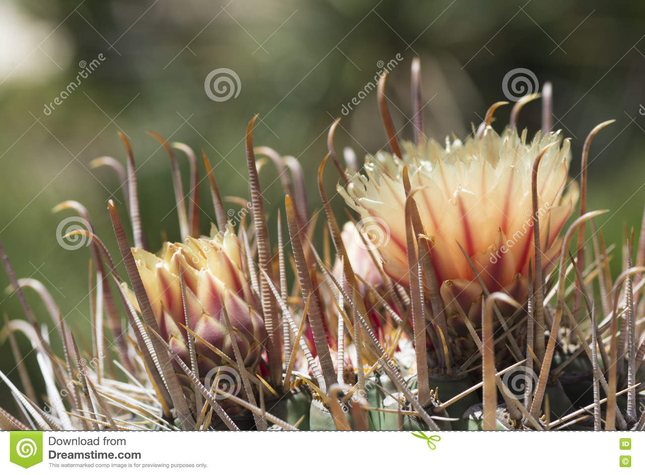 Two Flowers On A Ferocactus Wislizeni, Fishhook Barrel Cactus.
