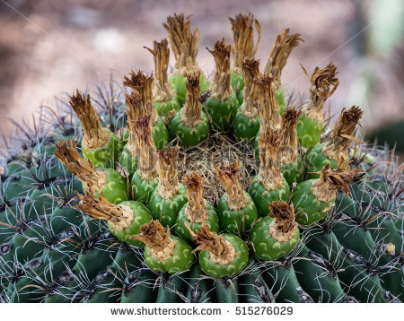 Ferocactus Stock Photos, Royalty.