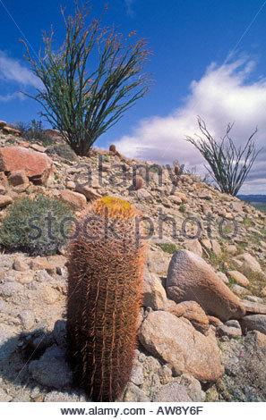 Barrel Cacti Stock Photos & Barrel Cacti Stock Images.
