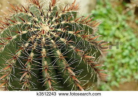 Stock Photo of cactus , ferocactus horridus , fish hook cactus.