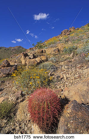 Stock Image of Brittlebush (Encelia farinosa), and Barrel Cactus.