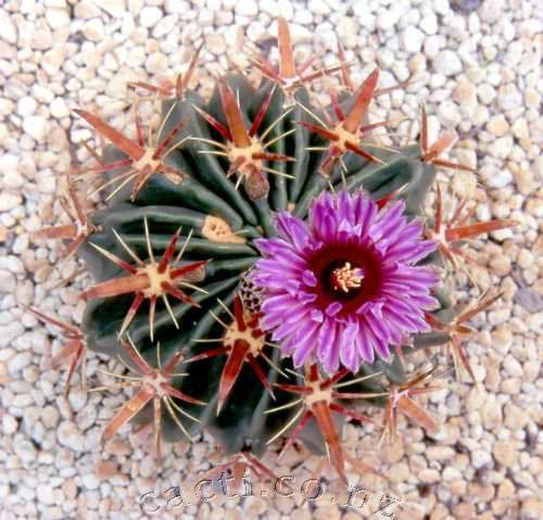 1000+ images about cactos on Pinterest.