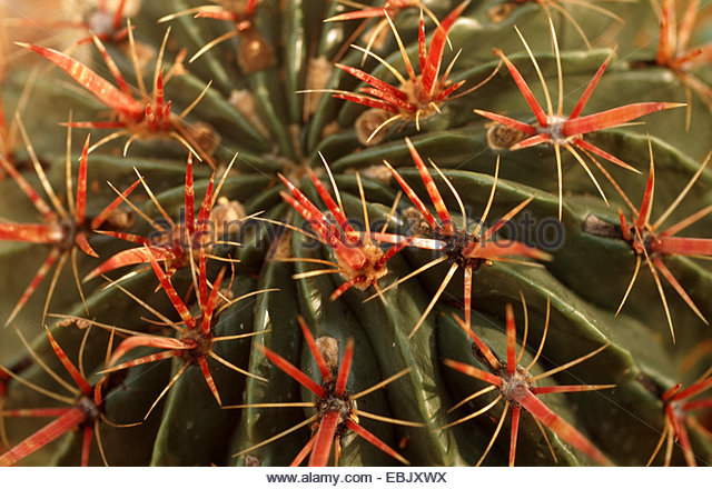 Cactus Spiny Leaf Stock Photos & Cactus Spiny Leaf Stock Images.