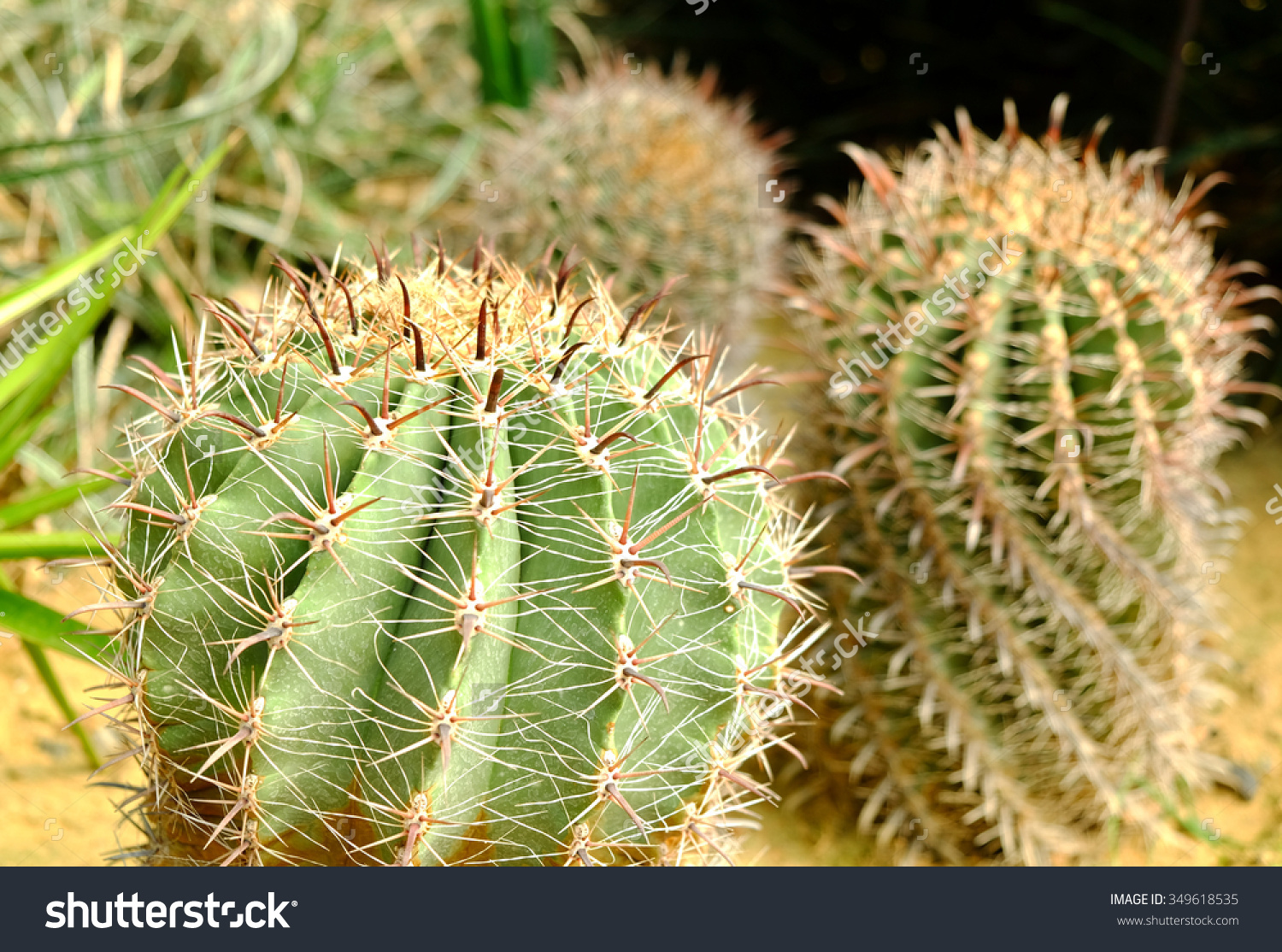 Ferocactus Latispinus Flavispinus Stock Photo 349618535.