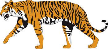 Ferocious Tiger Stock Illustrations.