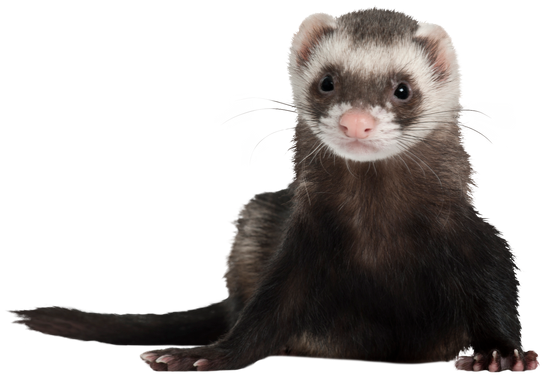 ferret png 10 free Cliparts | Download images on ...