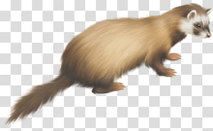 Ferrets transparent background PNG cliparts free download.