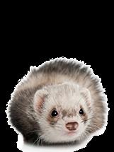 Ferret PNG images.