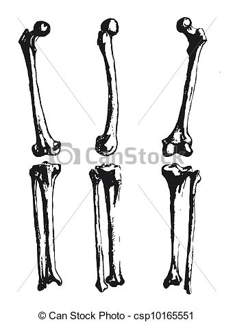 Clipart Vector of Hand drawn fibula and femur csp10165551.