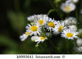 Feverfew Illustrations and Clip Art. 25 feverfew royalty free.