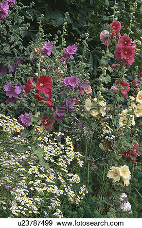 Stock Photograph of Hollyhocks and feverfew in summer garden.