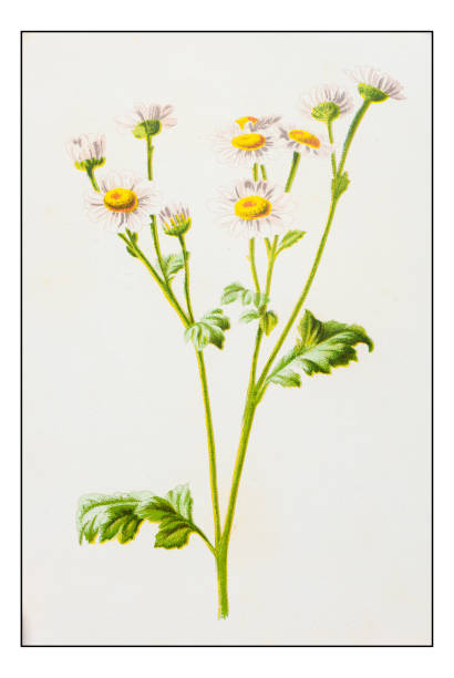 Feverfew Clip Art, Vector Images & Illustrations.