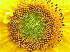 fibonacci spiral in nature.