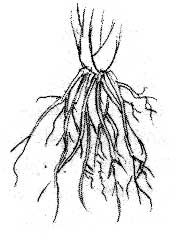 Roots excerpt from the book Identifying and Harvesting Edible.